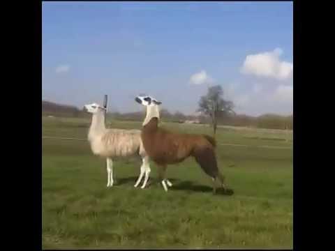 llama, dmx, earl simmons, funny, vine