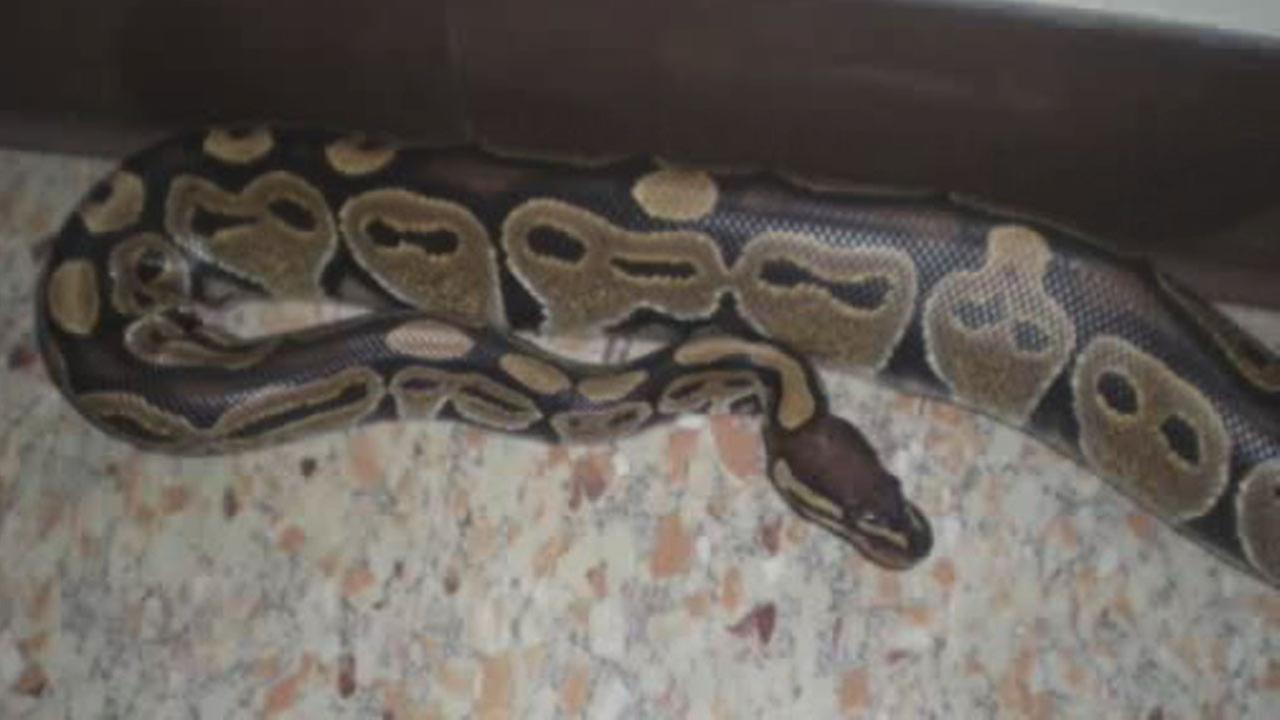 python, snake, bathroom