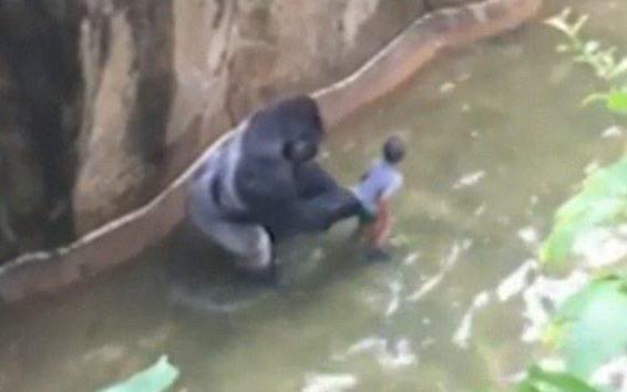 99364274_gorilla-NEWS-large_trans++VUsV2lOUsi3VLW0hzHQEKd16SUdfpO2gf6l-DwNwmP8 (1)