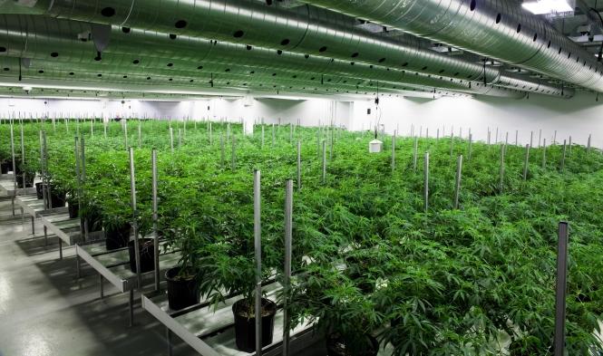 Microsoft Scores Its First Marijuana Partnership The Source