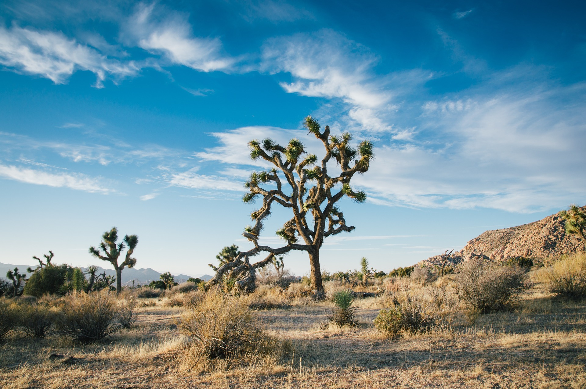 California's Joshua Trees Receive Protected Status As Climate Change Threatens Plant Life