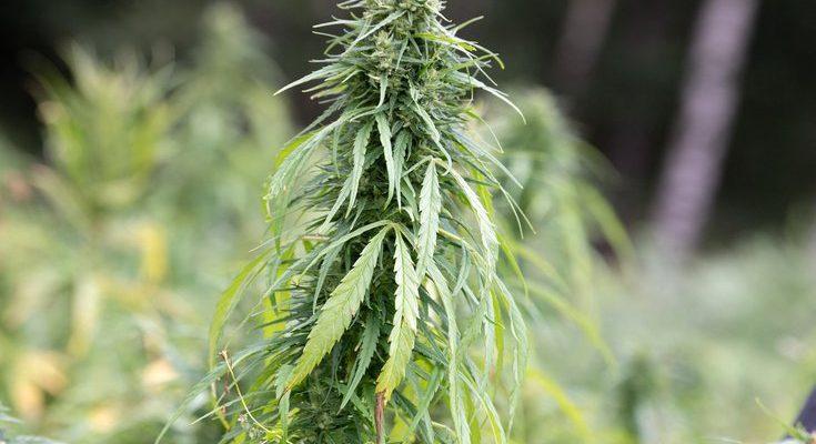 022221 New Jersey Cannabis.2e16d0ba.fill 735x490 1